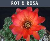 Rot Rosa