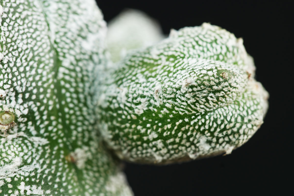 Astrophytum myriostigma Huboki