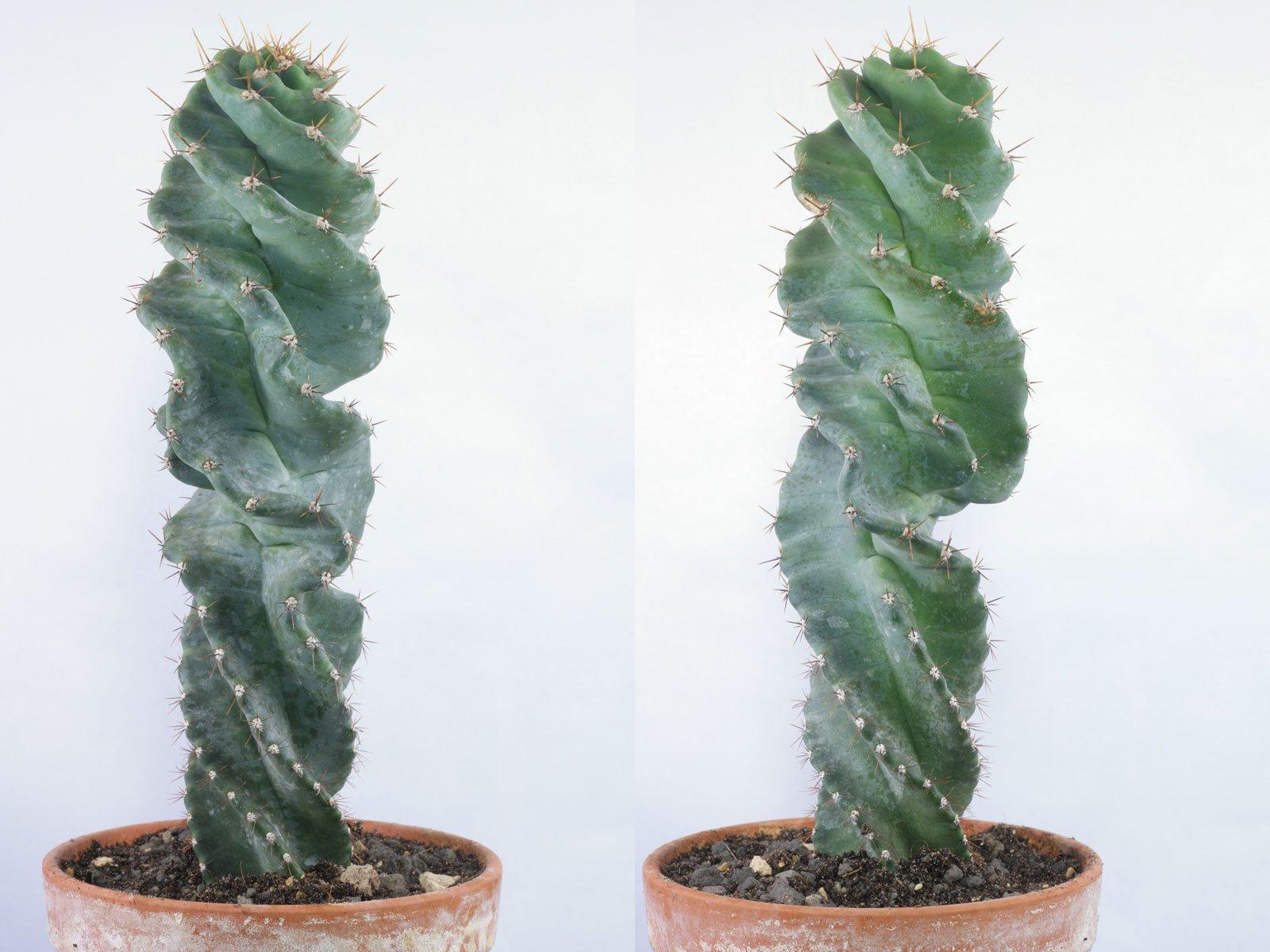 Cereus jamacaru Spiralis