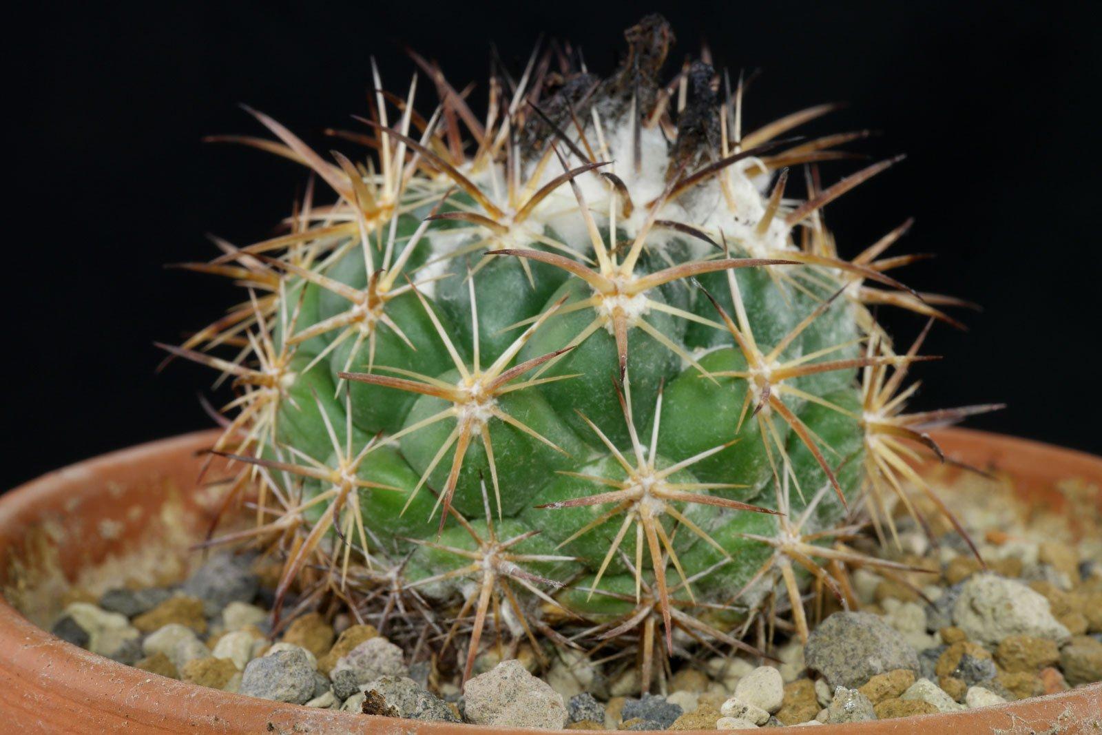 Coryphantha pycnacantha