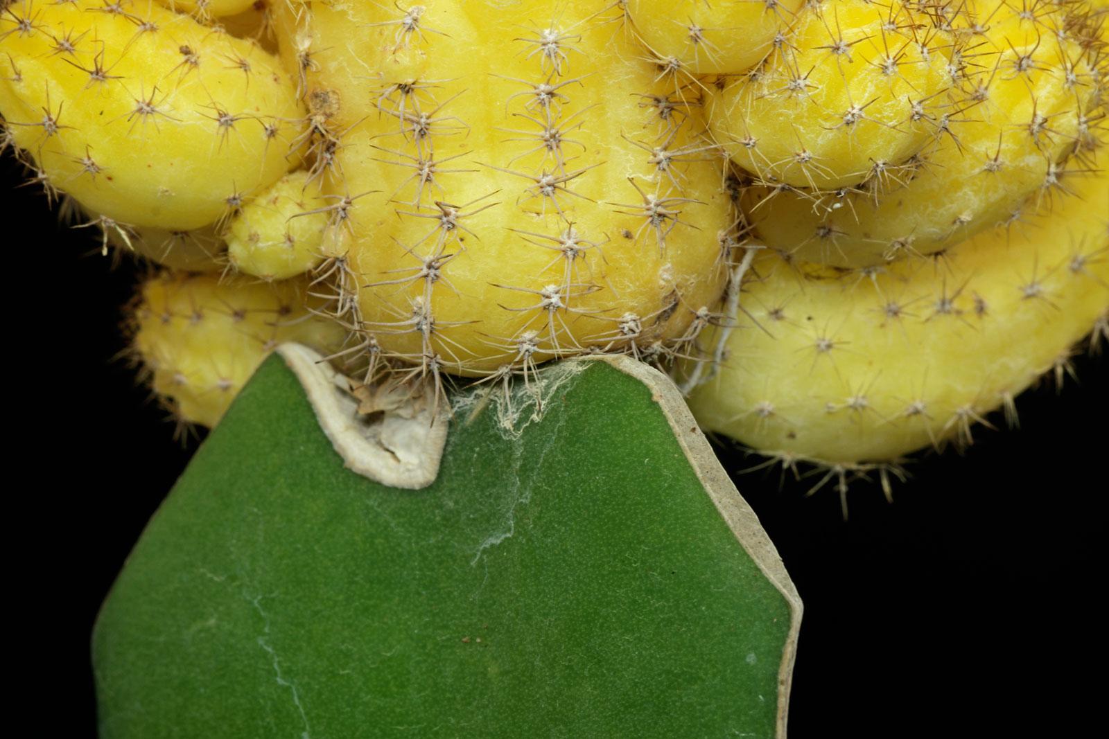 Echinopsis chamaecereus Lutea