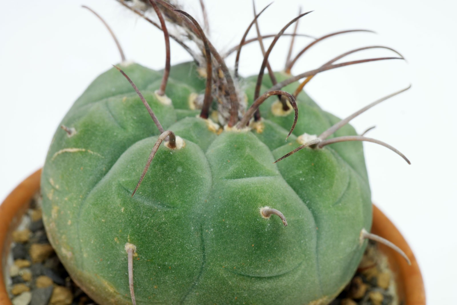 Matucana madisoniorum