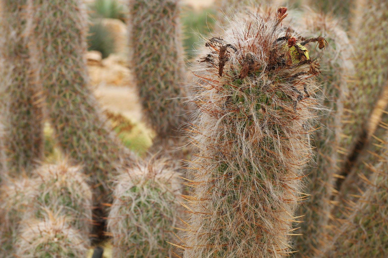 Oreocereus trollii