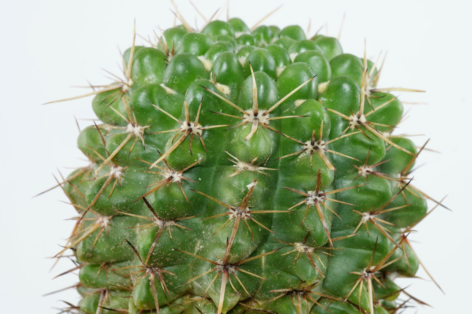 Parodia mammulosa ssp. submammulosa