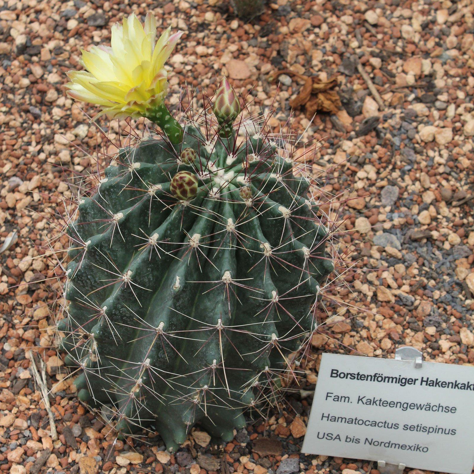 Thelocactus setispinus