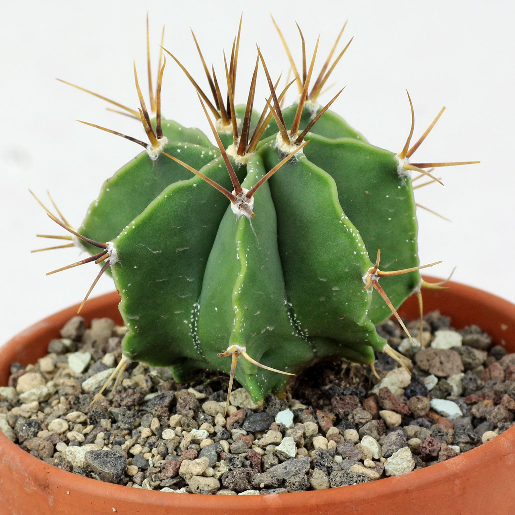 Astrophytum ornatum var. glabrescens