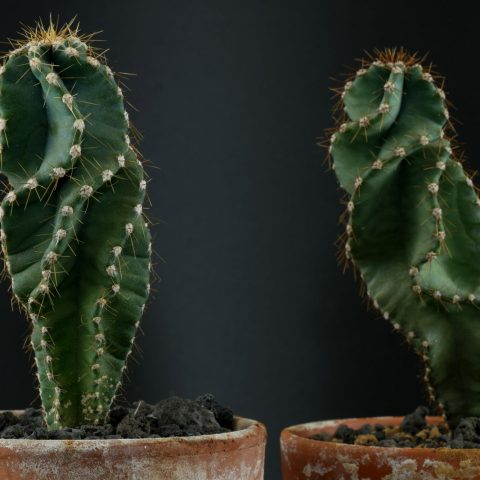 Cereus jamacaru Spiralis 1