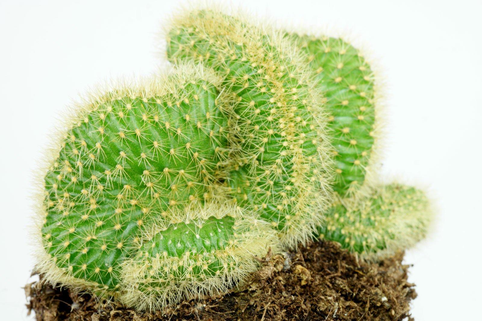 Cleistocactus winteri Cristata 1