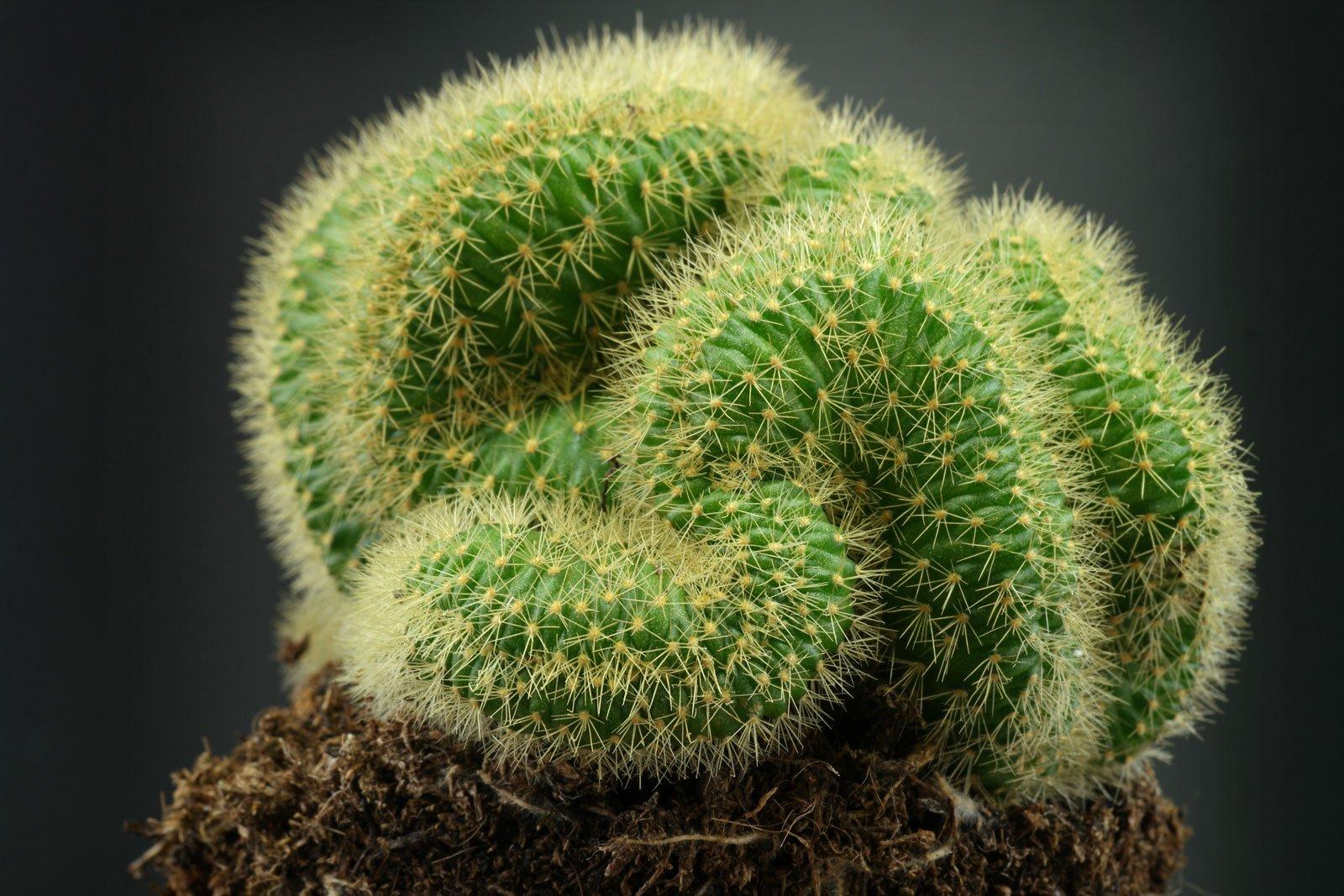 Cleistocactus winteri Cristata 2