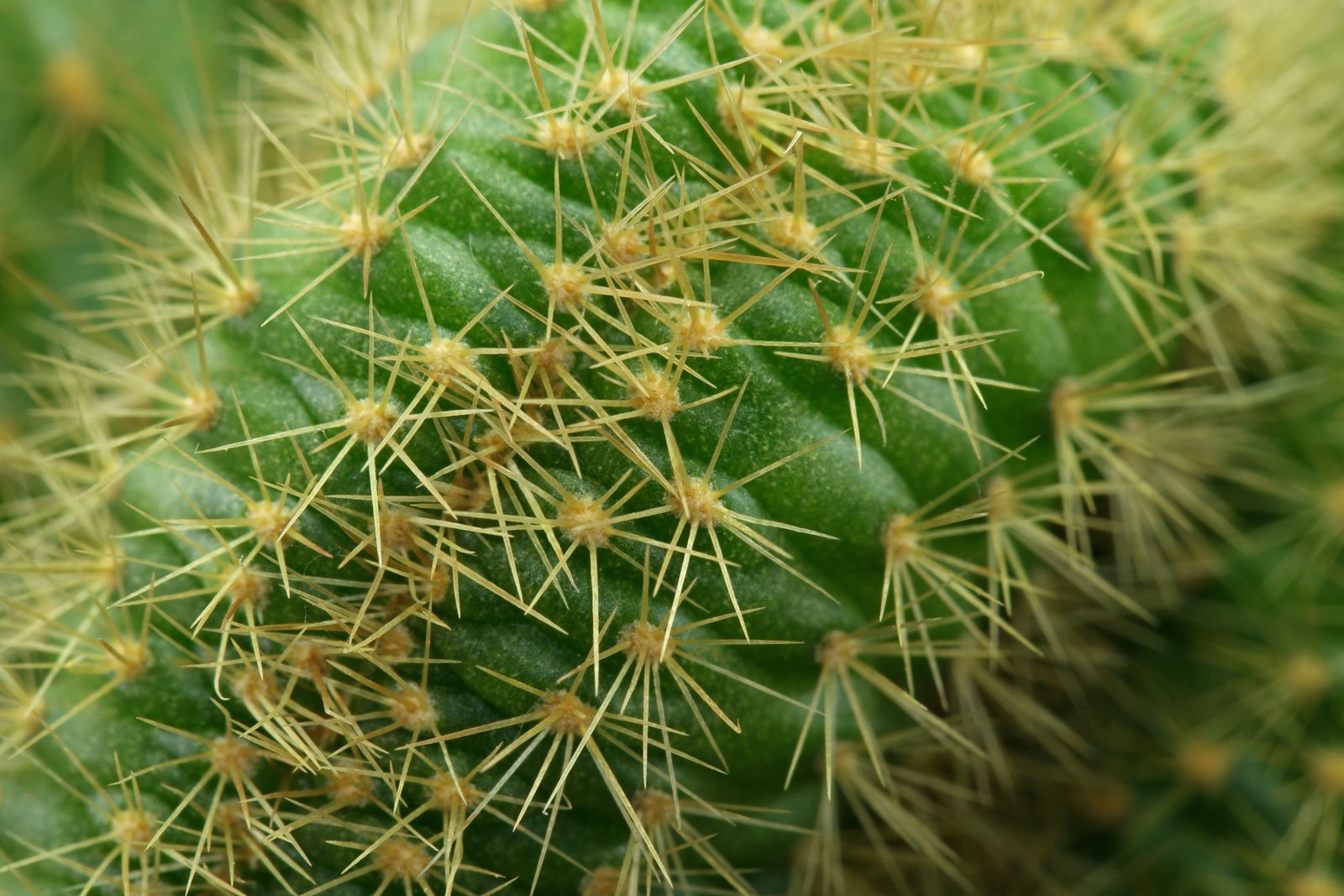 Cleistocactus winteri Cristata 3