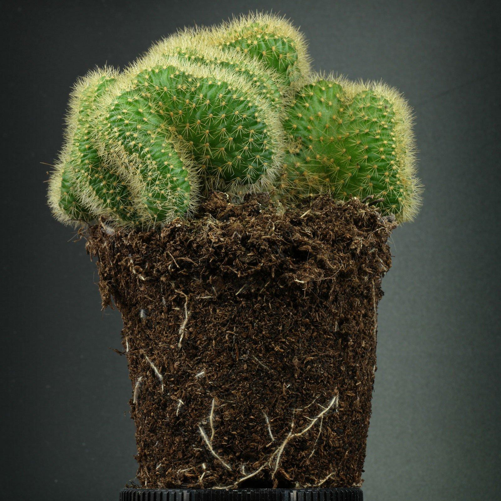 Cleistocactus winteri Cristata 5