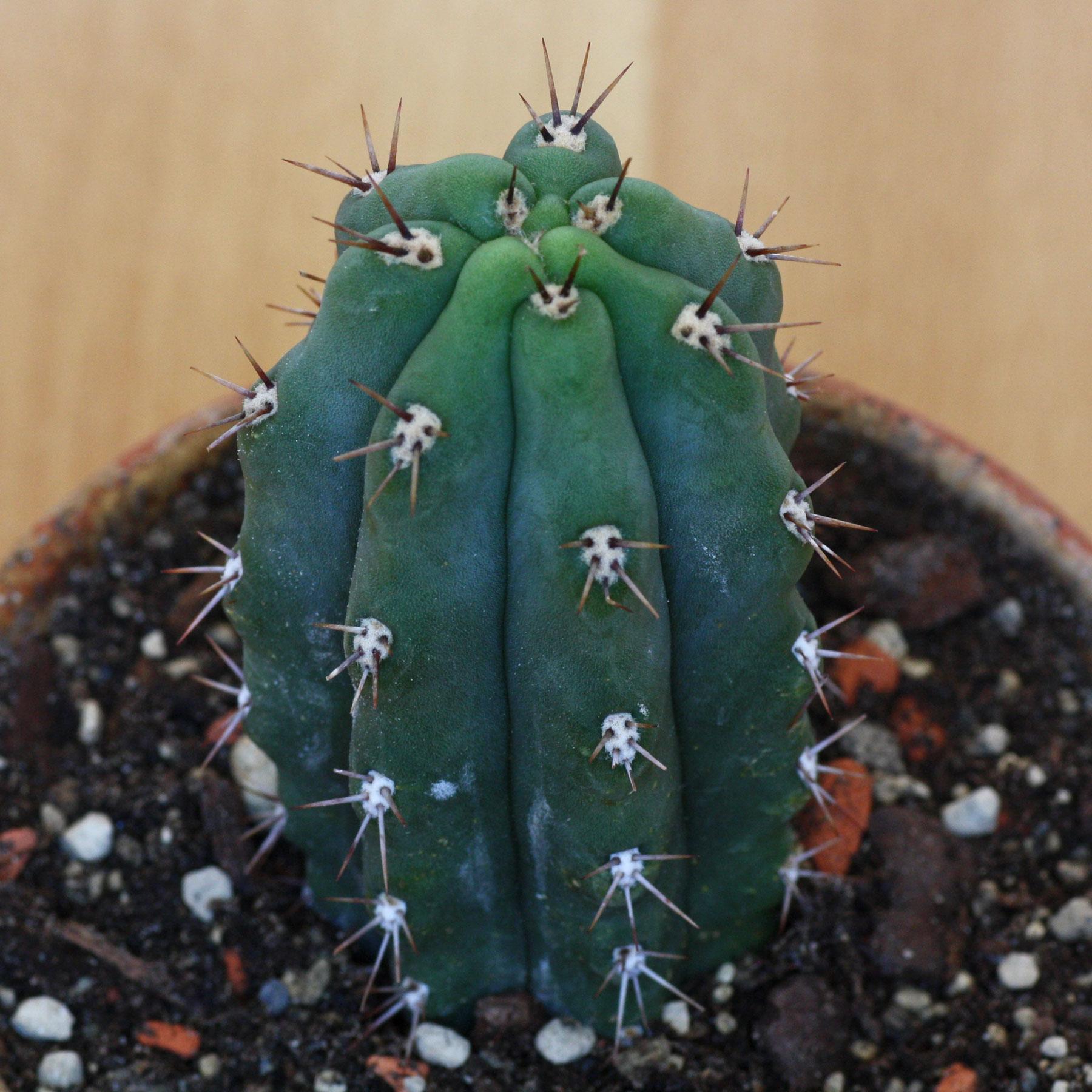 Echinopsis peruvianus