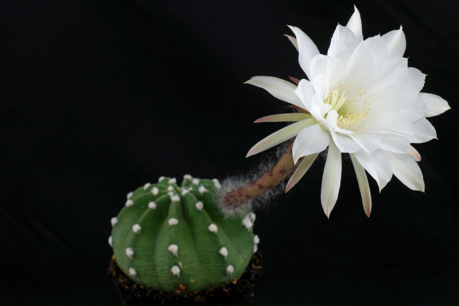 Echinopsis subdenudata 1