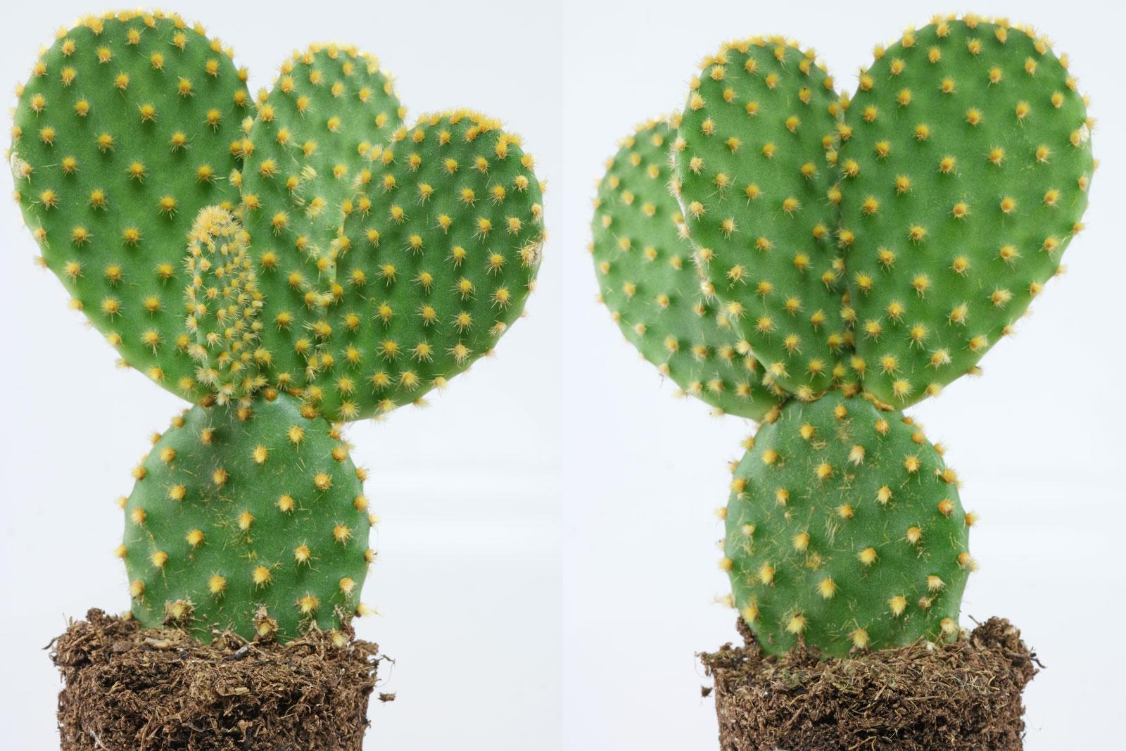 Hasenohr Kaktus