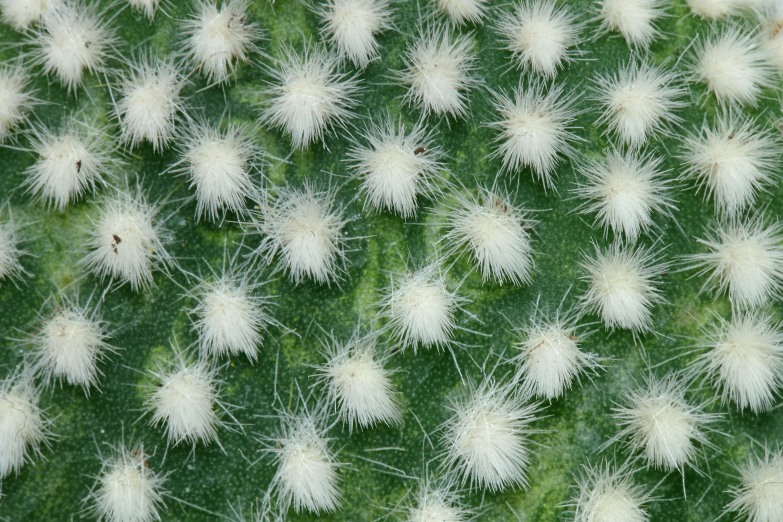 Opuntia microdasys Albata 3